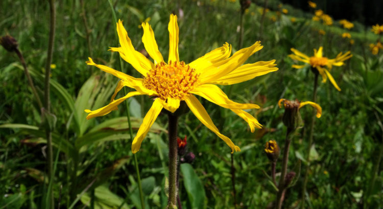 Arnika-Blüte